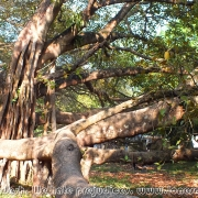 Largest Banyan Tree 01