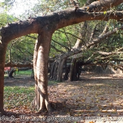 Largest Banyan Tree 03