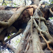 Largest Banyan Tree 04
