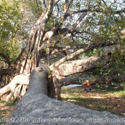 Largest Banyan Tree 05